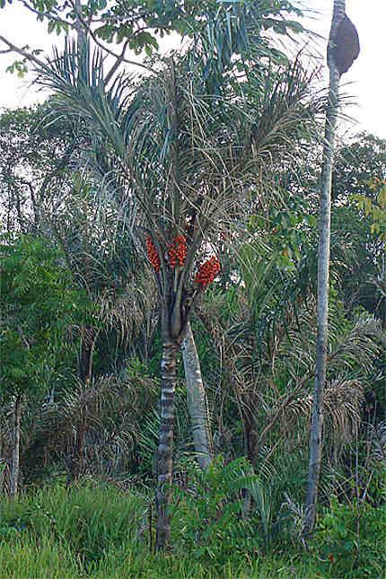 Le palmier awara