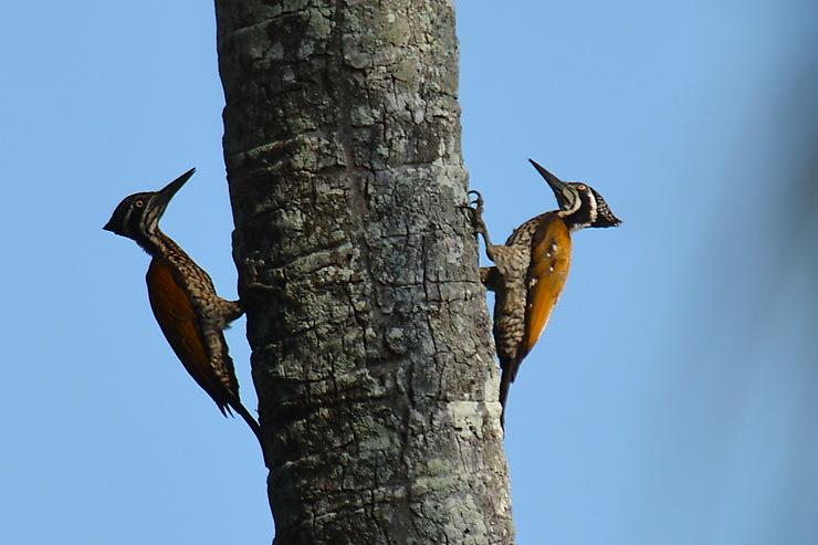 Pics à dos rouge, Parc national de Ream