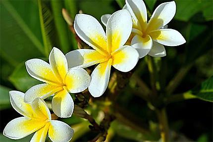 Frangipanier, fleur de l'amitié