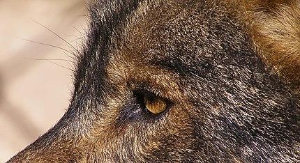Antequera - Le regard du loup