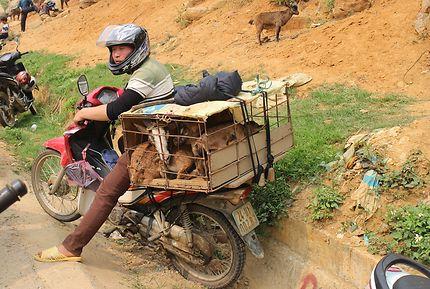 Transport de chèvres