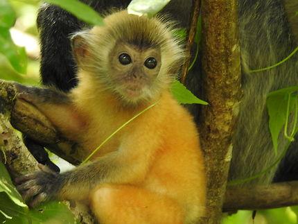 Bébé singe (langur)