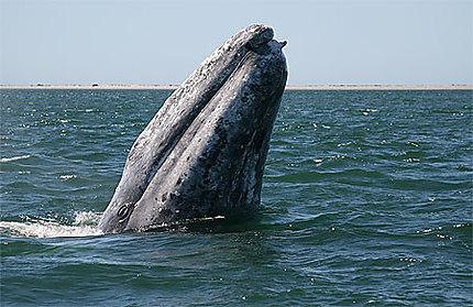 Baleine grise en Basse Californie