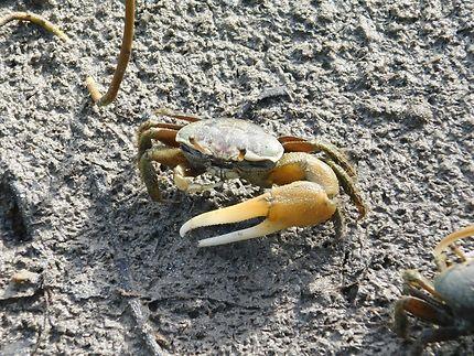 Crabe de mangrove aux Salines en Martinique