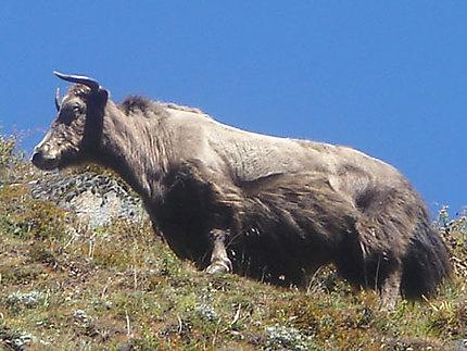 Le Yak - Roi majestueux des Himalayas