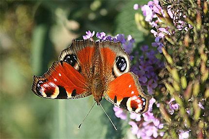 Papillon paon de jour
