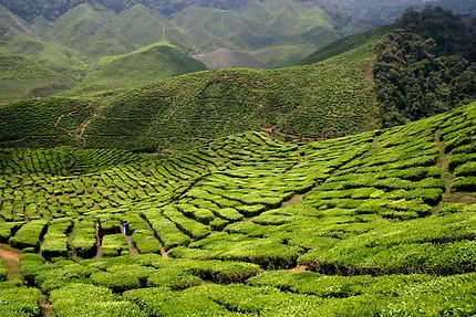 Plantations de Thé en Malaisie