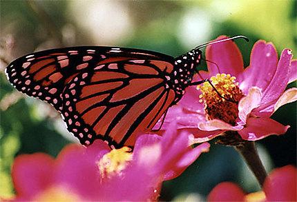 Papillon Monarque de passage à Montréal