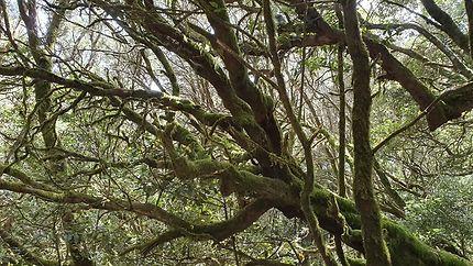 Parc national de Garajonay, île de la Goméra