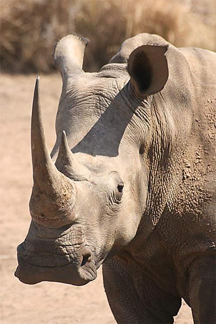 Portrait de rhinocéros