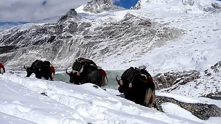 Nos yaks dans la neige