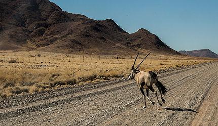 En Namibie, un oryx nous coupe la route