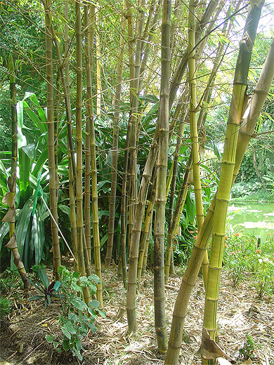 Bambous arbres jardin botanique de deshaies deshaies - Jardin botanique guadeloupe basse terre ...