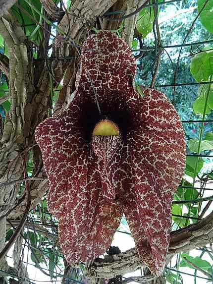 Fleur d 39 aristoloche fleurs jardin botanique de - Jardin botanique guadeloupe basse terre ...