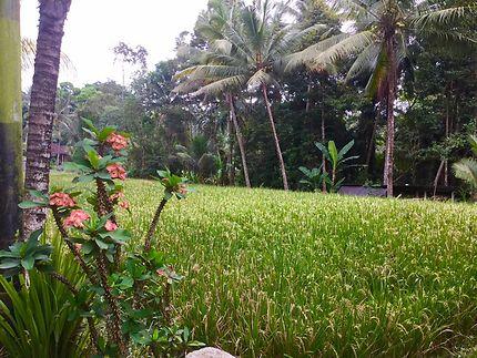 Les rizières de Keliki