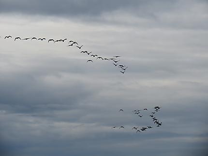 Bernaches en vol à Baie-des-Sables