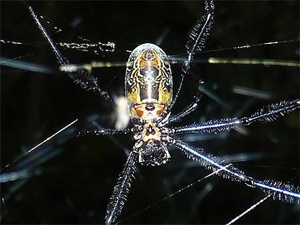 Araignée forêt akaka