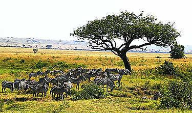 Réserve nationale de Massaï-Mara (vallée du Rift)