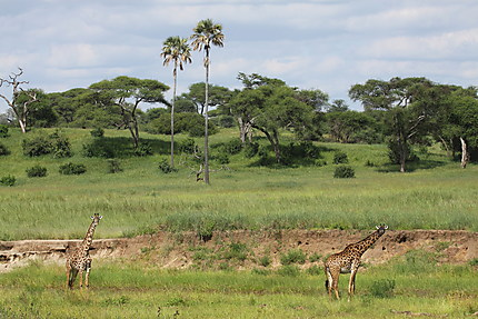 Girafes au Parc du lac Manyara