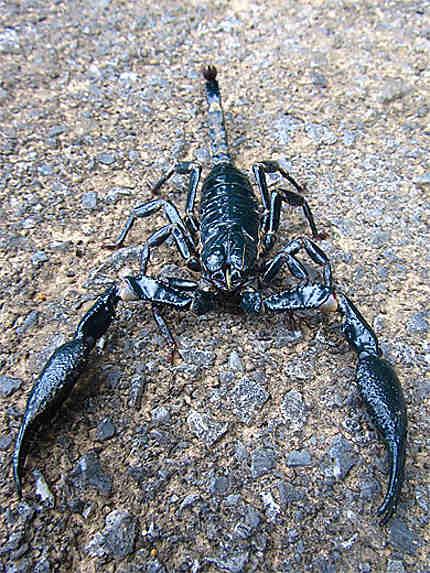 Scorpion, Langkawi !