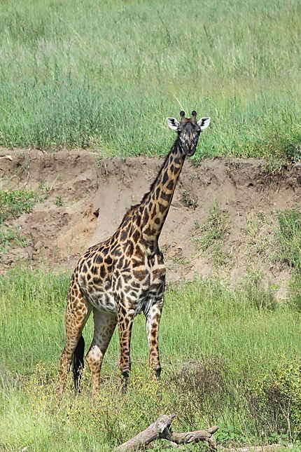Girafe au Parc du lac Manyara