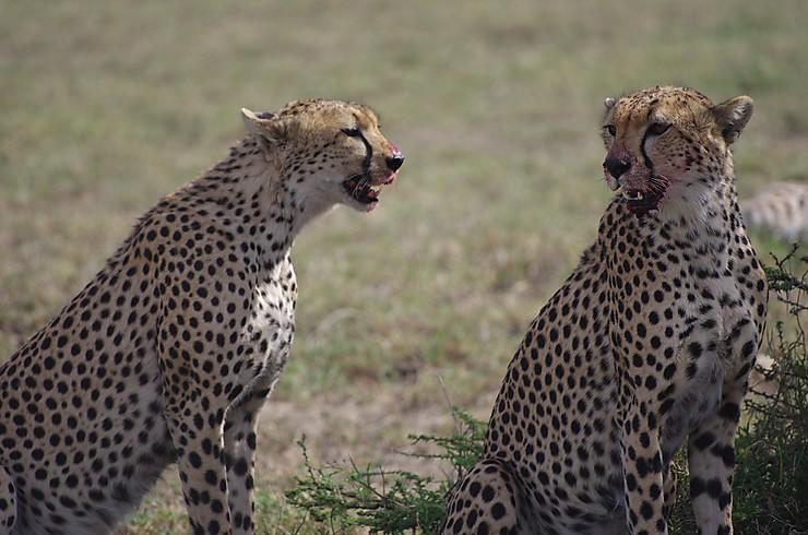 Guépards en chasse, Tanzanie