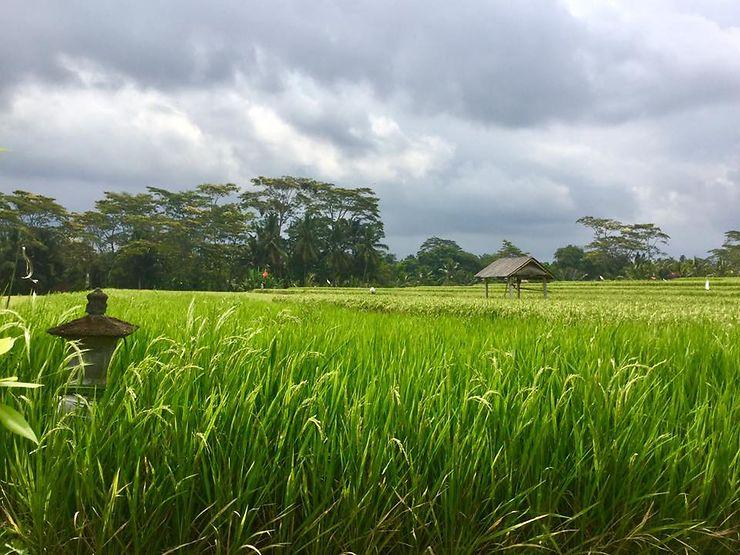 Les rizières de Keliki, Bali