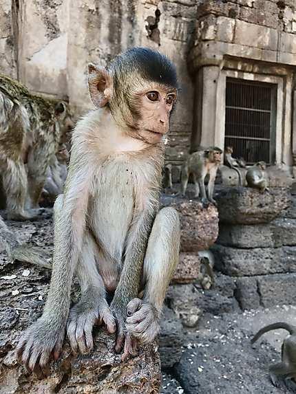 Un singe thaïlandais