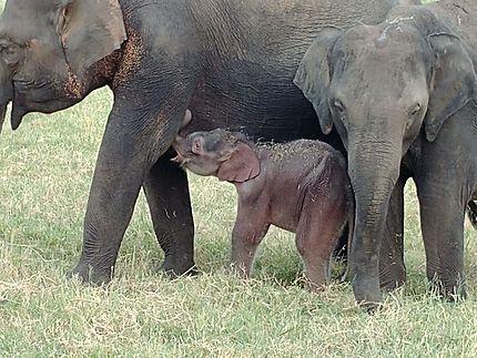 éléphants à Sigiriya