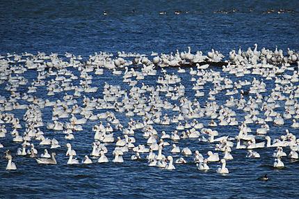 Les Oies blanches à Rimouski