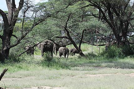 Eléphants dans le Parc du lac Manyara