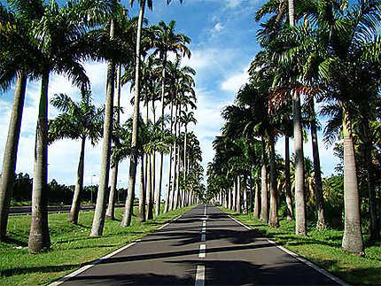 Les palmiers de l'allée Dumanoir
