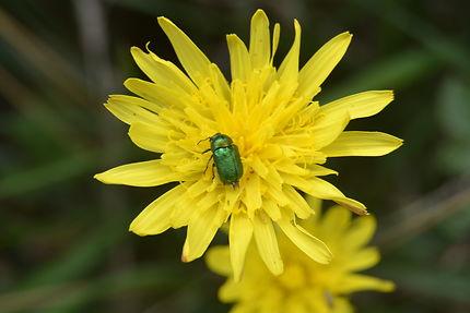 Fleur et insecte à Morgat, Finistère