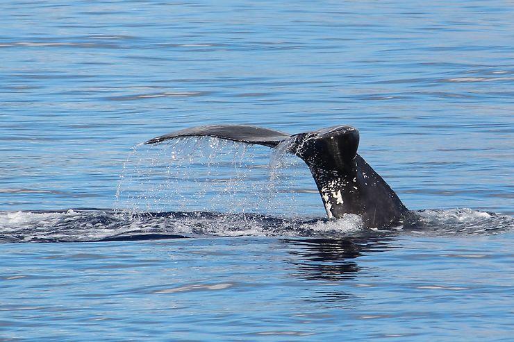 Baleine à Laheina, Hawaii, USA