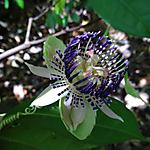 Fleur de passiflore bleue