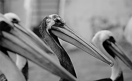 Los Pelicanos