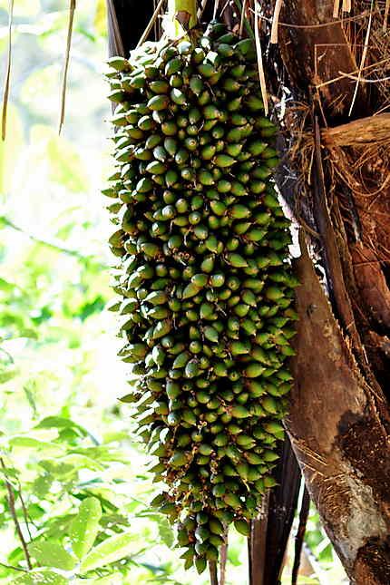 Baies de palmier dont on extrait l'huile