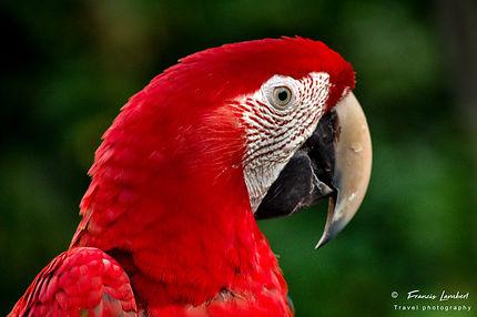 Ara rouge de la forêt amazonienne