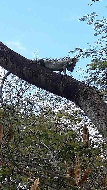 Iguane dans un arbre