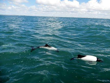 Dauphins de la péninsule Valdés