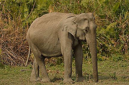 Eléphant sauvage