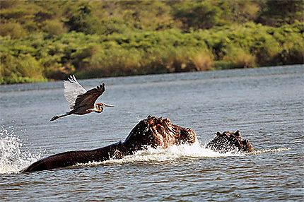 Un Héron goliath surprend une femelle hippo et son petit