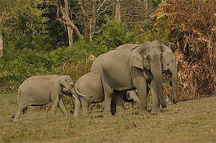 Famille d'éléphants sauvages