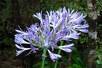 Agapanthe Bleue Fleurs Madere Portugal Routard