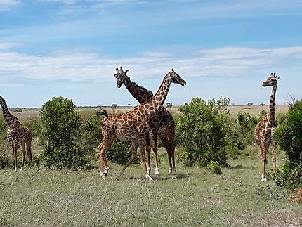 Couple de girafes