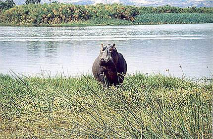 Hippopotame (un peu...) fâché