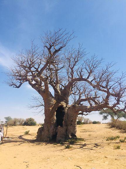Baobab à Kaolack, Sénégal