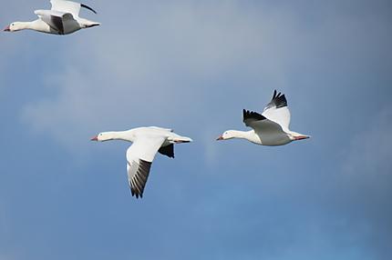 Oies blanches à Rimouski