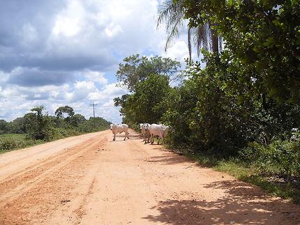 Traversée de troupeau au Pantanal