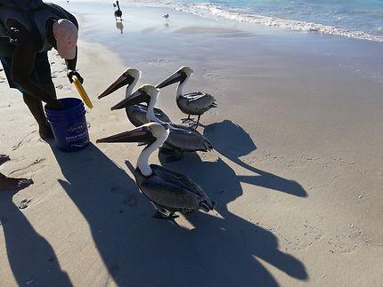 Pélicans sur la plage